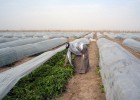 """USAID's """"Inma"""" agribusiness project provides assistance to farmers in the Hillah province.  Credit: Louis Berger"""