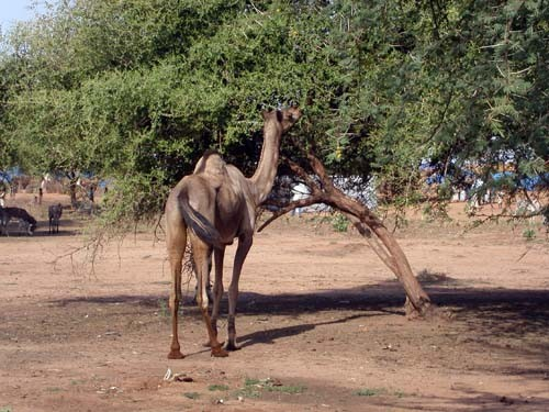 A camel grazes on an acacia tree that produces gum Arabic in Sudan.