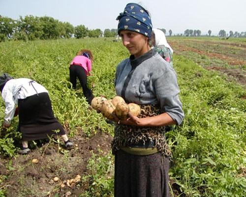 A woman harvests potatoes in the Shida-Kartli region of Georgia.