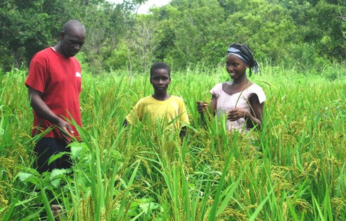 The quality of NERICA rice delights farming families.
