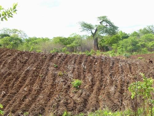 Gladys Dhaka's peanut seed field