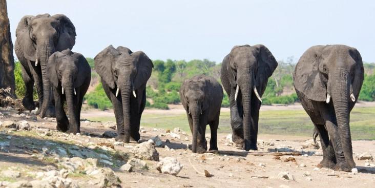 Six elephants walking in the Kavango-Zambezi Transfrontier Conservation Area, Southern Africa