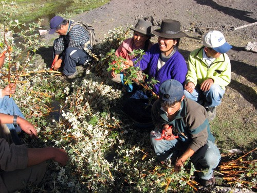 """A community forestry group in Ancash, Peru, prepares to reforest with native Polylepis or """"paper"""" trees."""