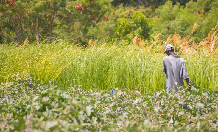 A master farmer passes through vetiver grass fields. Planting vetiver is one way to stabilize sloped landscapes.