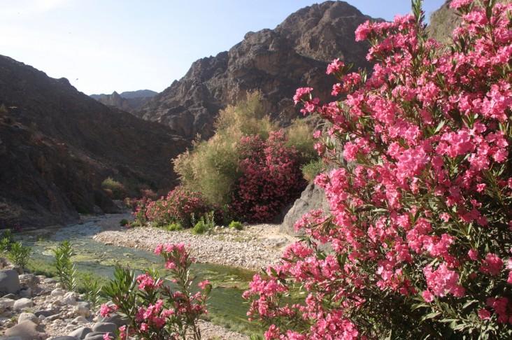Oleander line the basin of the Wadi Dana.