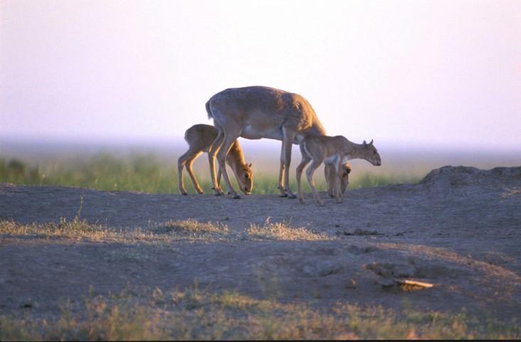 Saiga mother and babies grazing