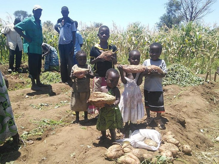 Heavy lifting of orange-fleshed sweet potato roots produced in the dry season in Njolo irrigation scheme