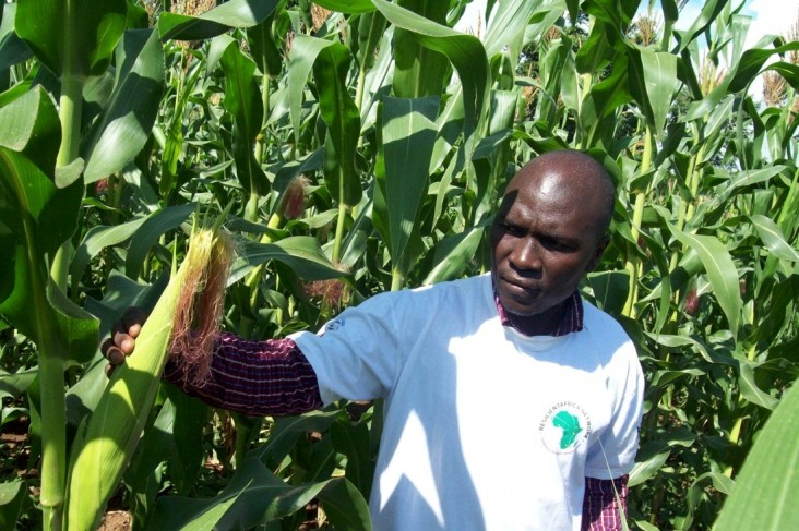 Kenneth Wanyama, Improved Push and Pull project team leader, surveys the maize garden for stem-eating larvae.