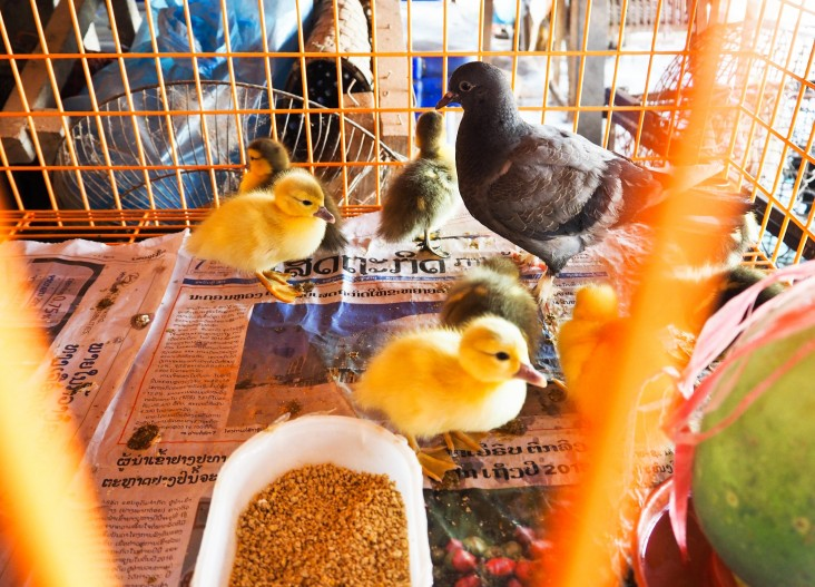 Many kinds of domestic birds are sold in markets in the Lao capital of Vientiane and other locations.