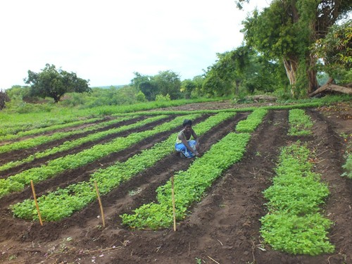A COMACO farmer tends her fields.