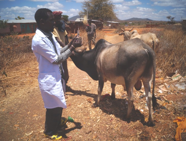Golicha Abduba, a community animal health worker, vaccinates animals in Bokola kebele.