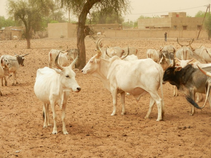 Livestock interventions protect livelihoods of drought-affected households in Mali.