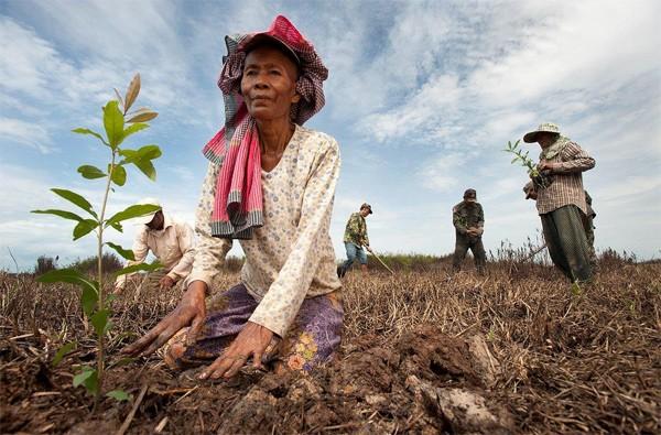 Villagers planting Barringtonia seedlings Siem reap Cambodia