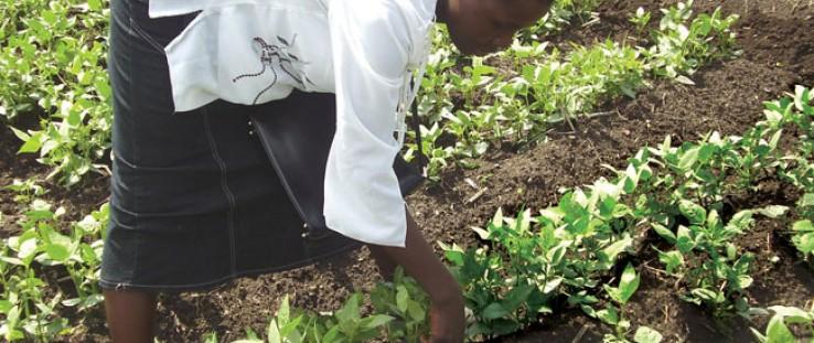 Millicent Juma of Olambwe tends to her vegetables.