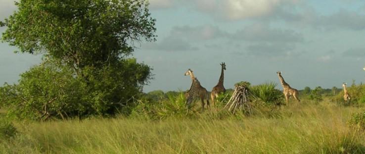 Giraffes inside the Saadani National Park, Tanzania