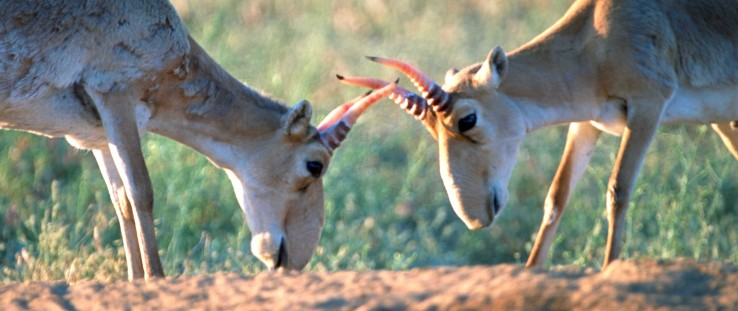 Saiga males during mating season in open field