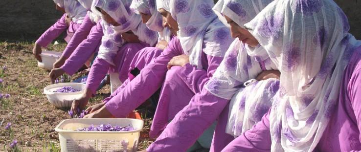 Members of the Ghoryan Women's Saffron Association pick flowers during the saffron harvest.