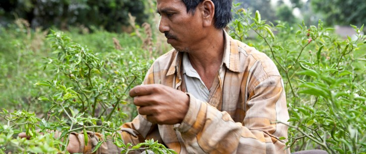 Ram Prasad Chaudhary carefully selects and picks chili in his field.