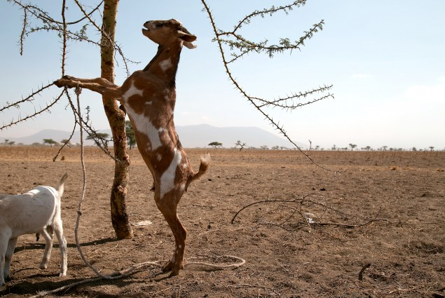 Goats fare better than cattle, because they can clamber high and can strip off almost anything for food: dried out leaves, bark and even thorns, but even those are getting harder to find across this valley turned dustbowl.