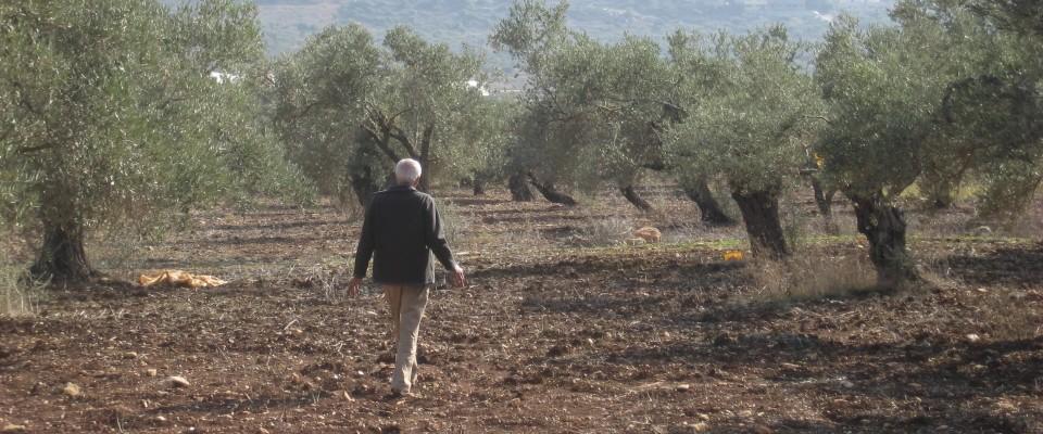Arab Israeli farmer walking through olive grove