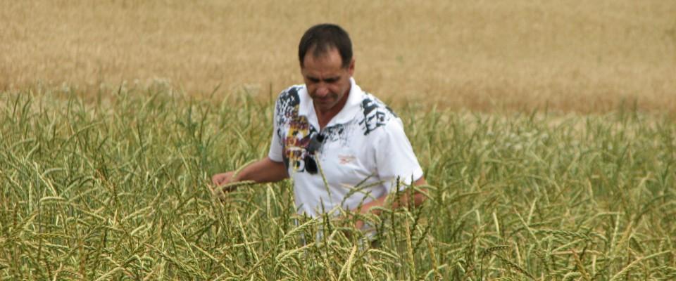 Un fermier din Moldova inspectează un câmp de cereale organice.