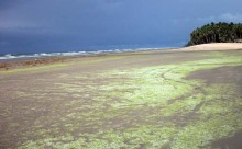 Severe marine algae and seaweed have been inundating the areas near the western border of Ghana for over a decade, restricting t