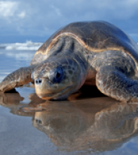 In Nicarague, an endangered sea turtle makes its way across the beach at the La Flor Wildlife Refuge.  Credit: Jerry Bauer, US F