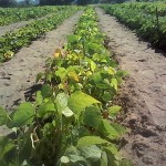 A farmer's field in Manicaland where fertility trenches have been used to grow vegetables