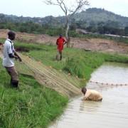 Ugandan fish farmers harvest carp from an aquaculture pond.