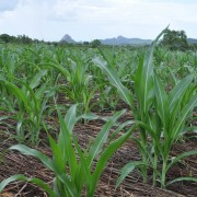 Crops in Mozambique