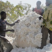 Emptying the tarp after weighing the cotton harvest