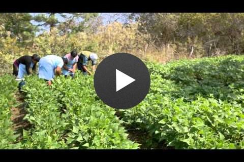 Hortalizas ADIP USAID y AGEXPORT